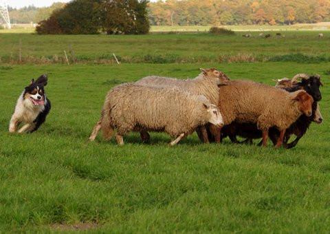 Jiba working sheep 1