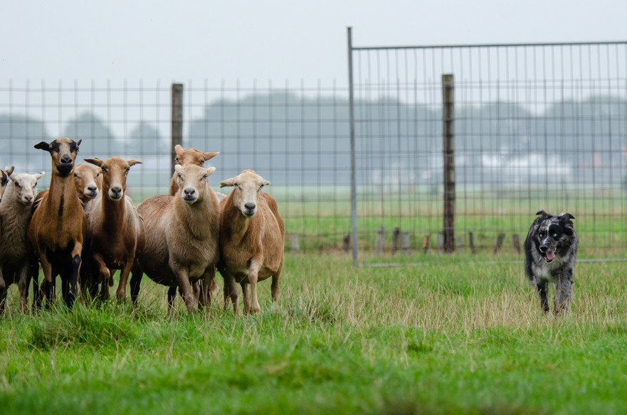 JAX working sheep 1