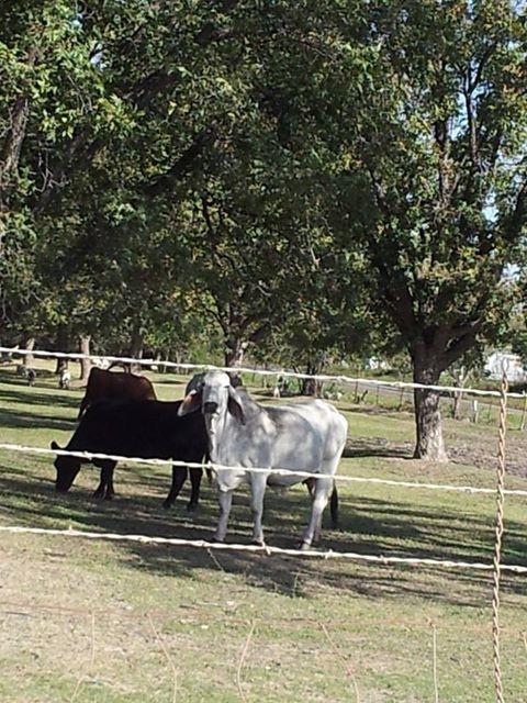 Brama Bulls