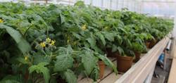 Freeman Herbs Mini Tomatoes