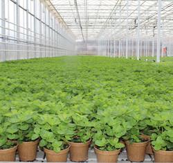 Freeman Herbs Mint