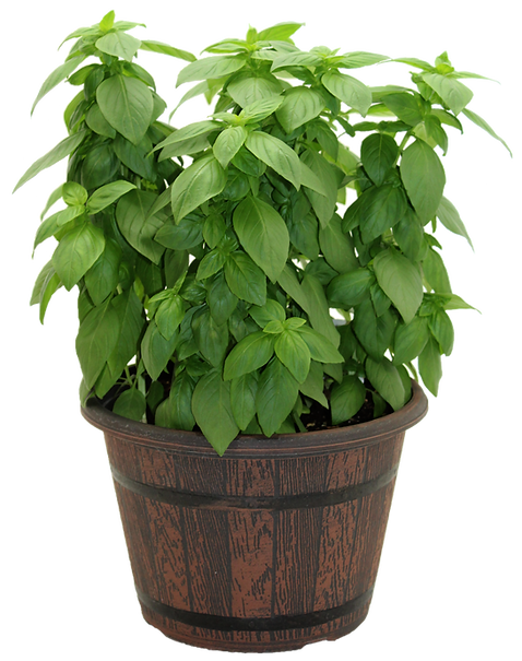 Emerald Basil.png