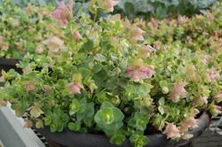 Freeman Herbs unique herbs