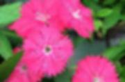 dianthus closeup_Super_Portrait (1).jpg