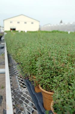 Freeman Herbs Fresh Thyme
