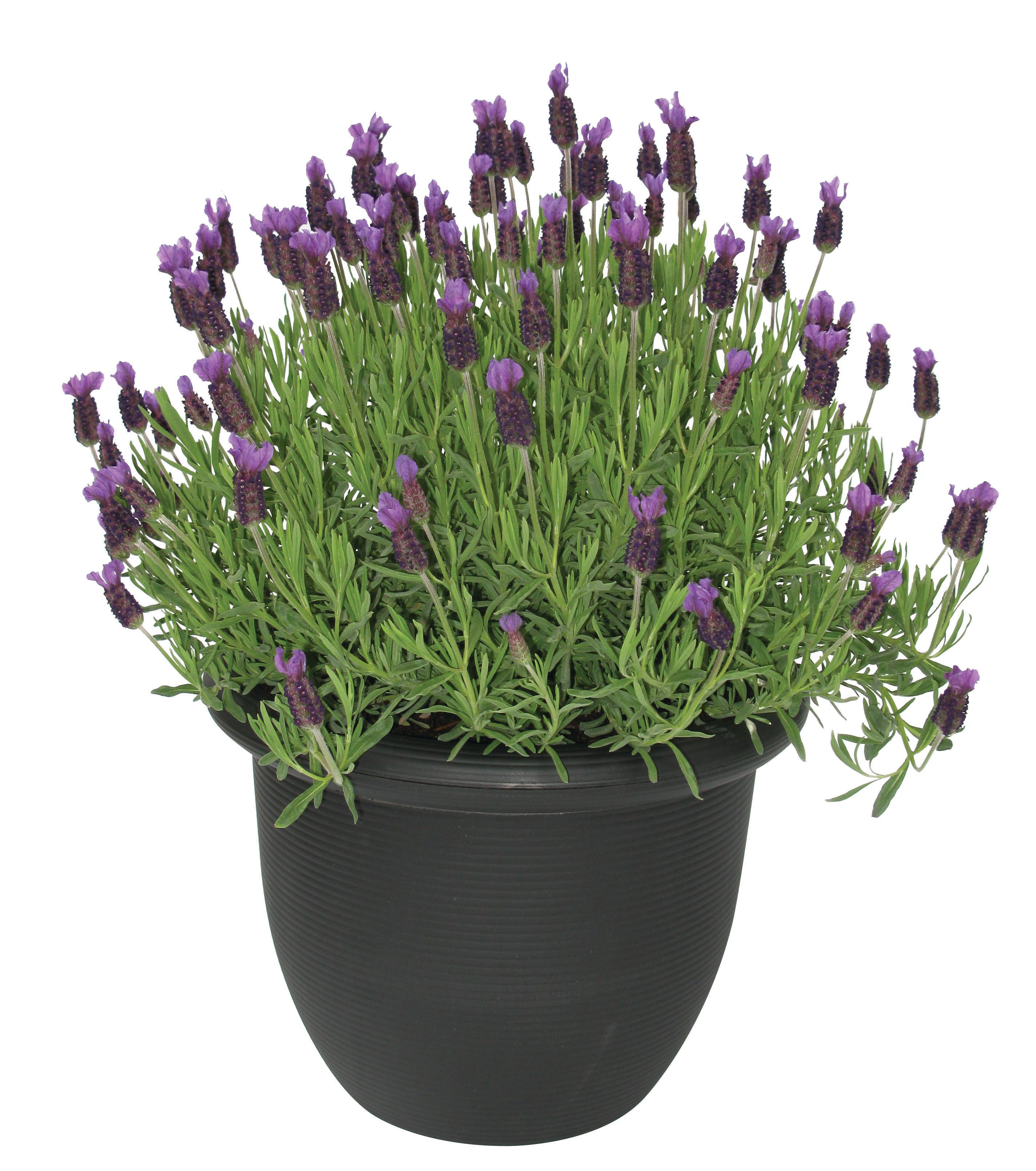 Lavender Shrub