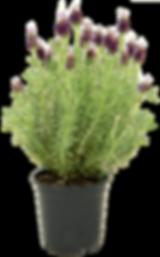 6 inch Lavender Shrub_NoTag.png