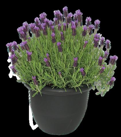 lavender 2 gallon deco  (8).png