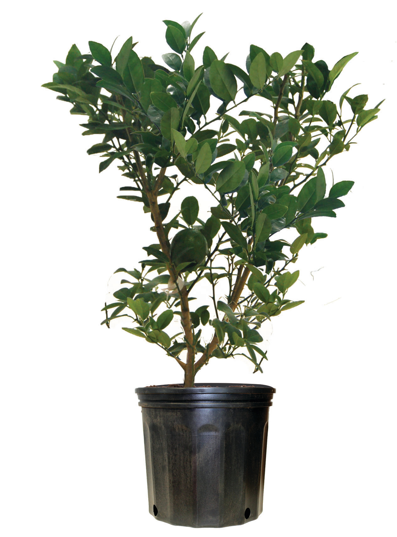 Lime, Lemon, Orange Trees