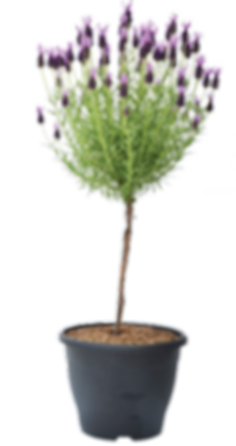 Lavender Topiary.png
