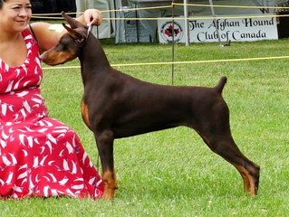 Petunia Best in Sweepstakes @ Montreal Dobe Specialty. Plus WB on the Canadian National Specialty We