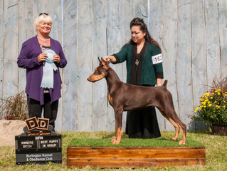 Cherry wins Best Puppy In Group at the Burlington Kennel Club