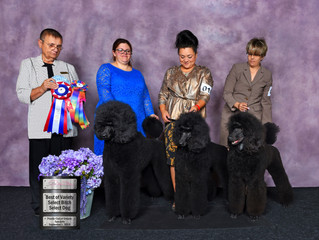 Best In Variety Plus Select Dog & Bitch @ Poodle Club Of Ontario!