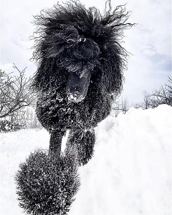 #snowpoodle #poodle #poodlesofinstagram