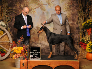 Vega Places 1st & 4th in her class Regional Shows US Doberman Nationals Topeka