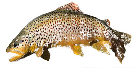 Perfect Brown Trout