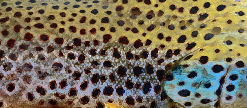Brown Trout Skin