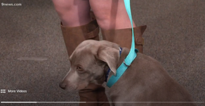 Petline 9: Cute-sad Weimaraner mix Cassidy would love to go home with you