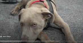 Petline9: Hugo, an 8 month old Weimaraner mix, needs a home