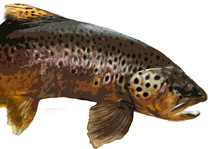 Big Brown Trout Abstract