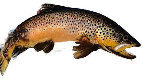 Curved Brown Trout