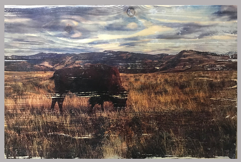 Peaceful Wild Yellowstone Buffalo