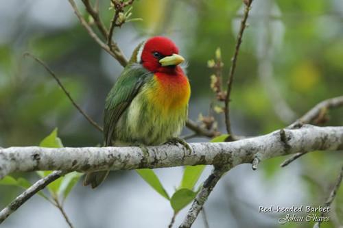 red headed barbet