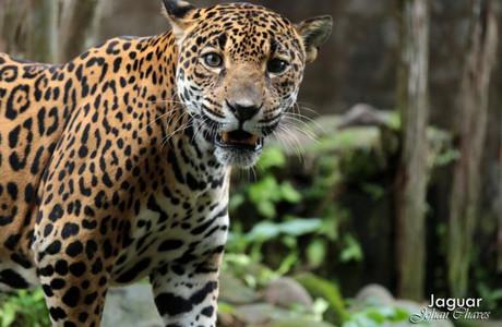 Jaguar (captivity)