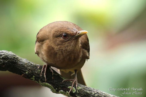 Clay colord thrush