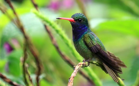 manuel antonio birdwatching tour esquipulas.jpg