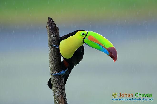 keel biled toucan SHARE ss.jpg