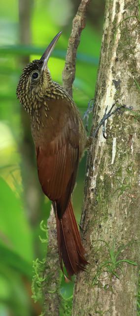 Carara birdwatching.jpg