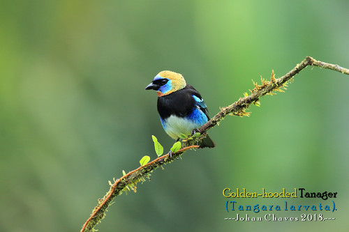 Golden hooded tanager