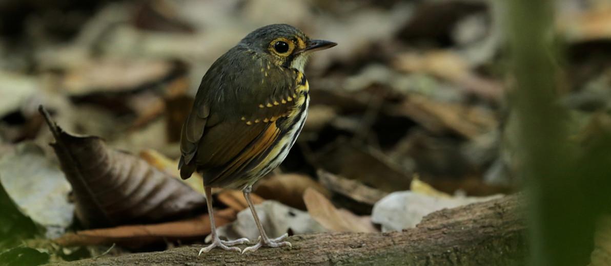 Carara birding tour