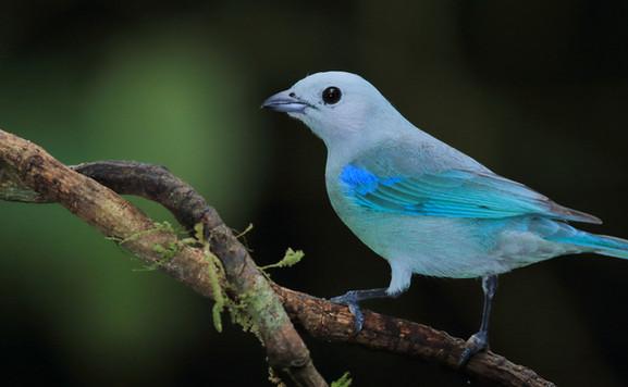 Manuel Antonio birdwatching guide.jpg