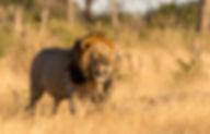 Lion in the Savute botswana safari
