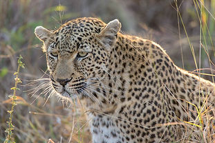 Leopard on South Africa Safari