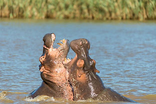 Hippo fighting in water.jpg