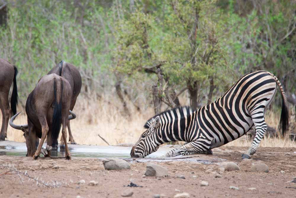 Wildebeest and Zebra drinking