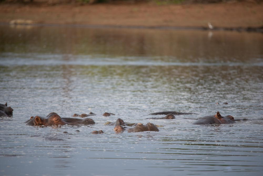 Hippo at Sunset Dam - Kruger Park