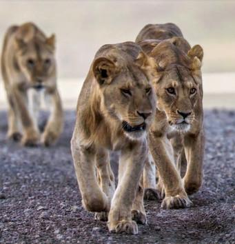 Meet the Kings of the Jungle on Safari