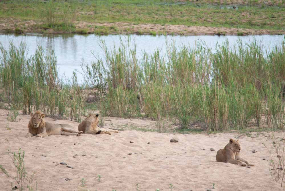 Lions in Sabie Riverbed Kruger