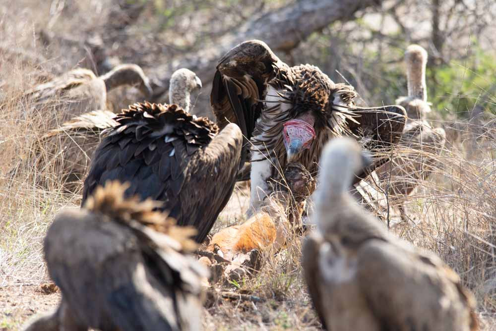 Lappet Faced Vulture on an Impala kill