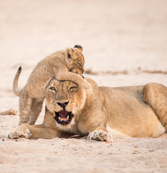 The big cats of Hwange