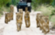 Walking Lions in the Sabi Sand Reserve