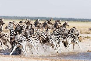 Zebra Etosha waterhole, Namibia