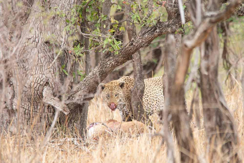 Leopard eating a Impala - Kruger Park