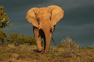 Kwandwe Game Reserve Elephant Bull