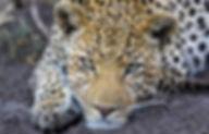 Leopard_Big5.jpg