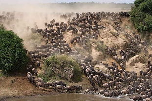 Great Migration Masaai Mara